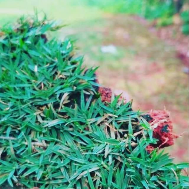 7 Jenis Rumput Taman Untuk Rumah Idaman