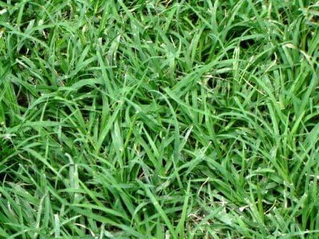 jenis-jenis rumput untuk taman