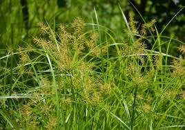 jenis-jenis rumput taman