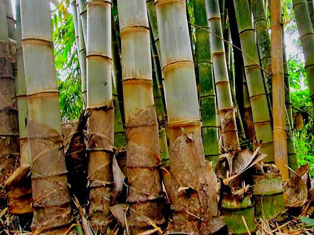 bambu apus cocok untuk kerangka atap