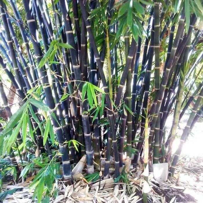 bambu hitam