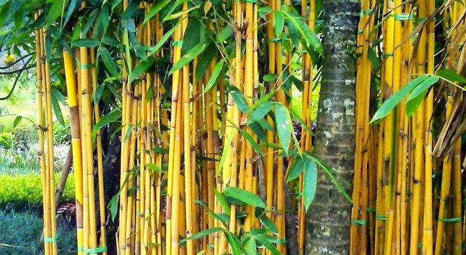 4 Jenis Bambu Ini Cocok Untuk Hiasan Teras Rumah