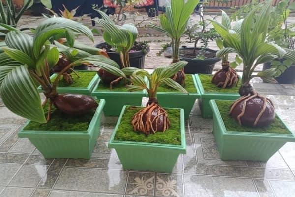 peluang usaha bonsai kelapa