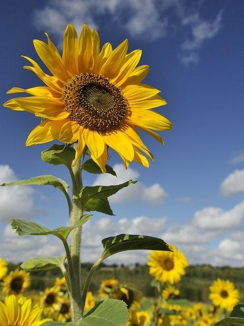 peluang usaha bunga matahari