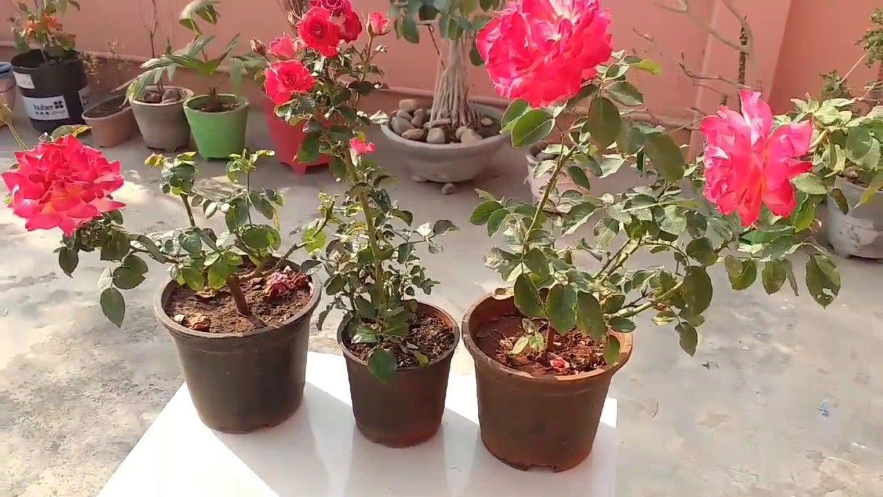 peluang usaha bunga mawar