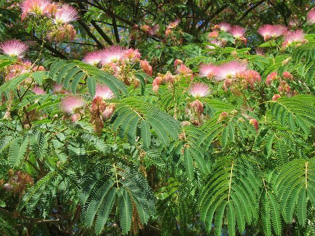 bunga pohon sengon