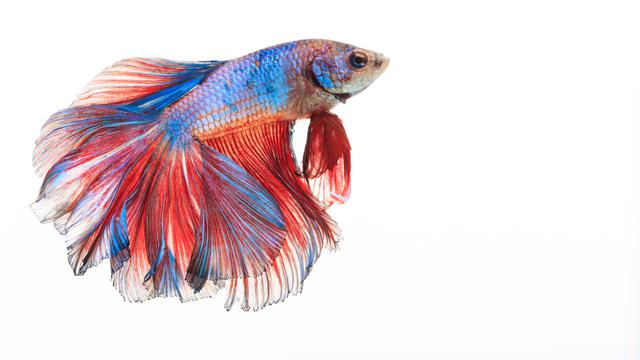 5 Jenis Ikan Cupang Ini Bisa Bikin Cuan