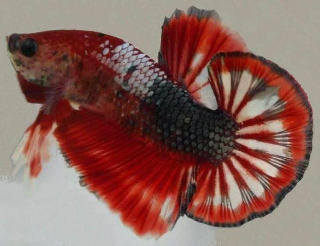 ikan cupang plakat