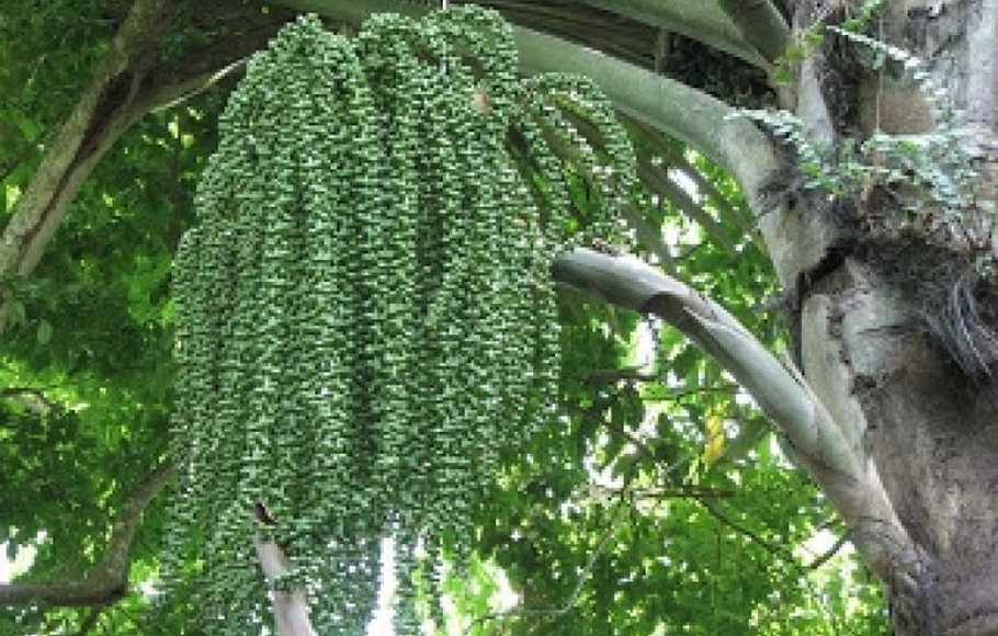 bunga pohon aren