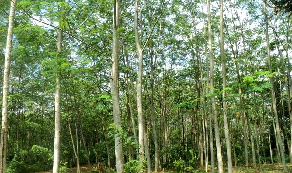 Panen Cuan Dari Bertani Pohon Emas Hijau