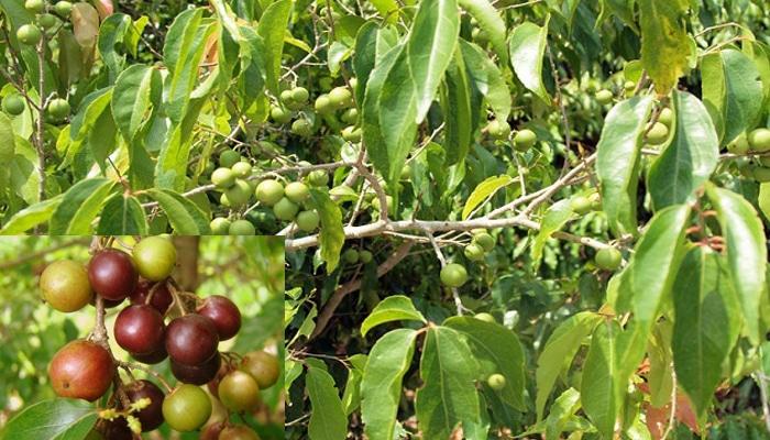 buah rukam atau rukem