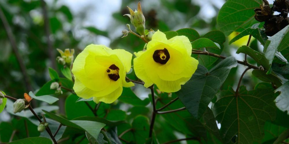 bunga waru landak