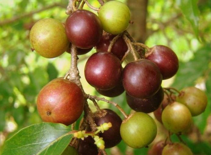 tanaman buah rukam