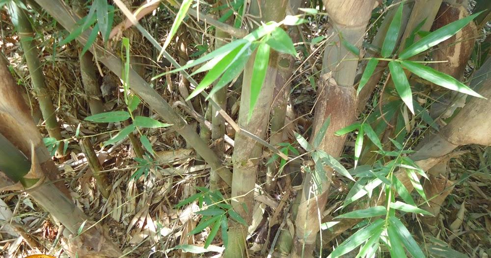 bambu untuk kehidupan