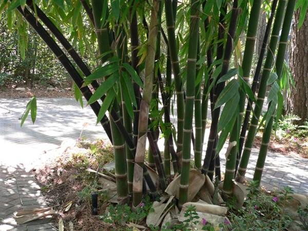 manfaat bambu tali