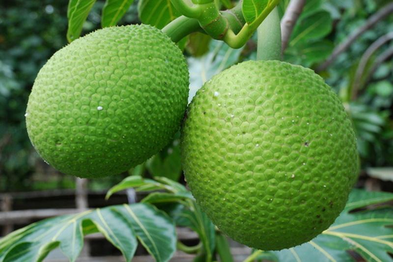 5 manfaat buah sukun