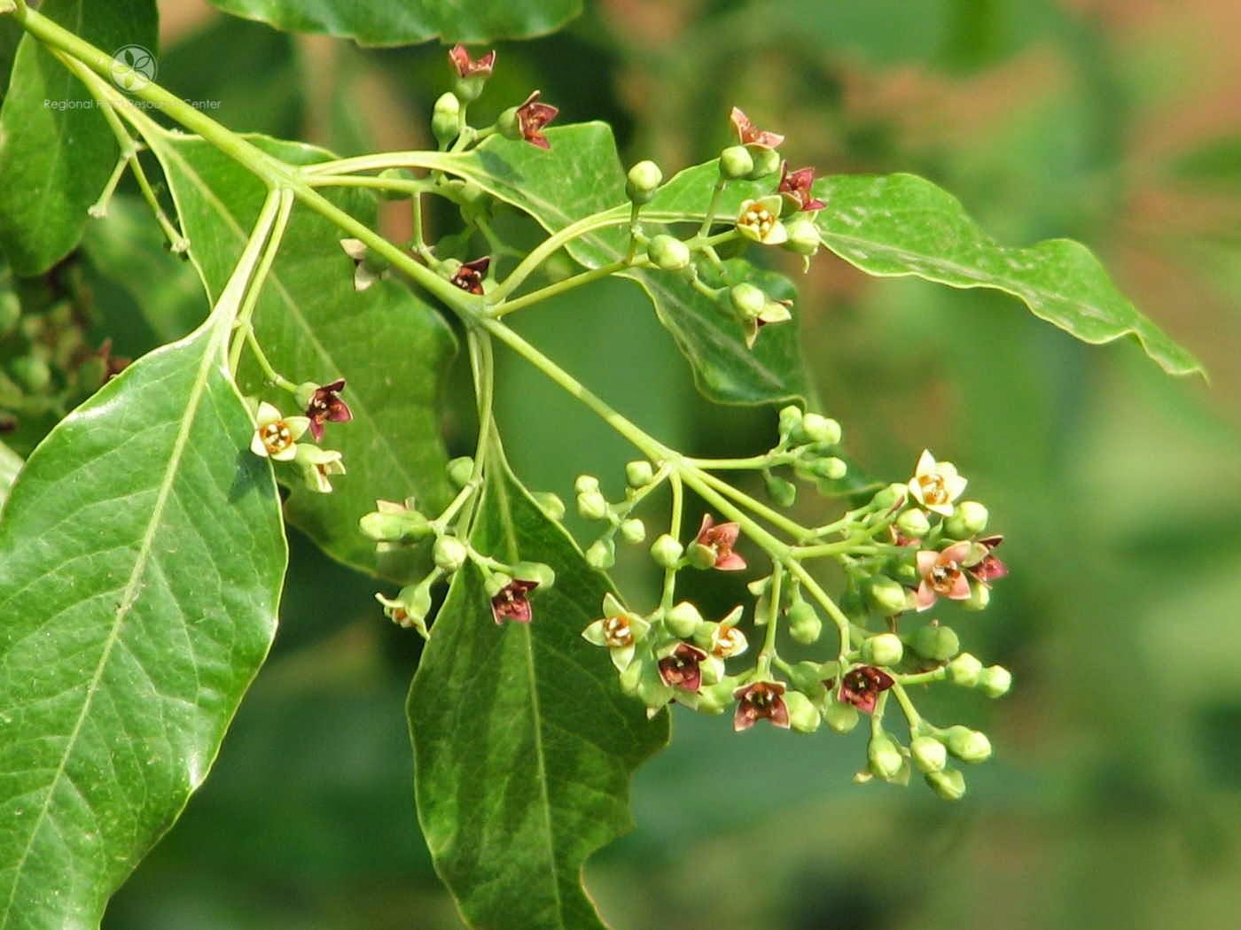 bunga pohon cendana