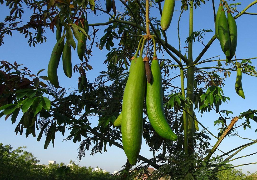 buah kapuk kayu randu