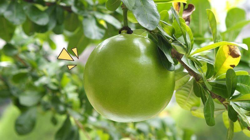 buah kenitu