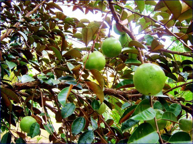 pohon buah kenitu