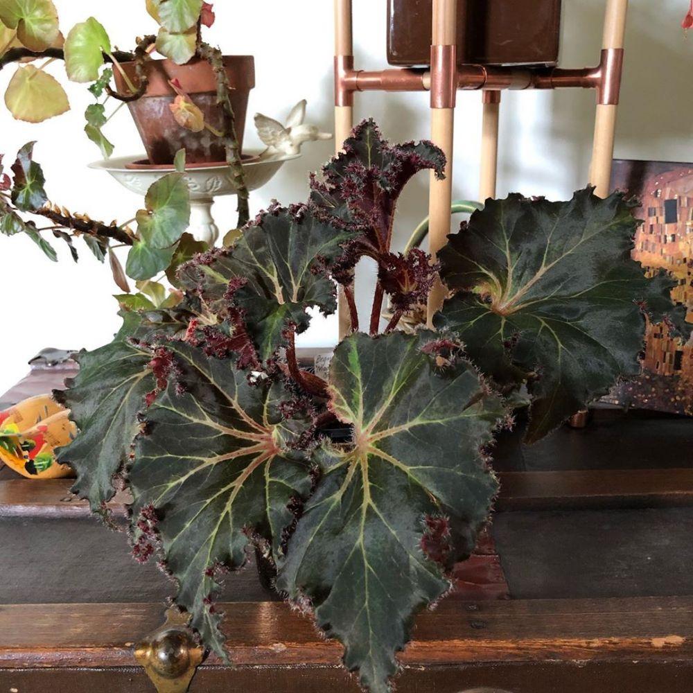 Begonia Tanaman Pemanis Teras Rumah