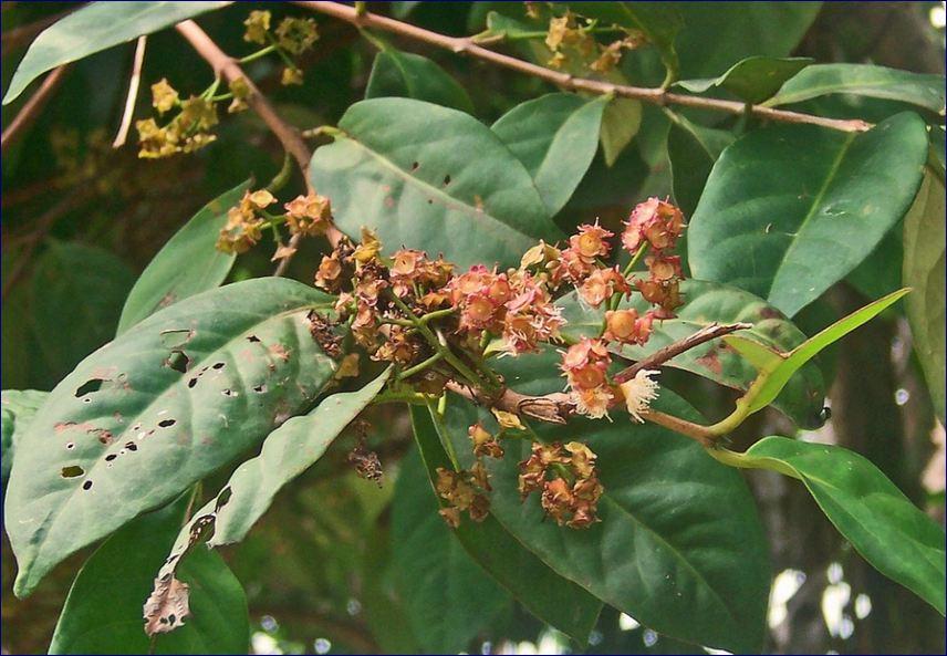 Pohon Salam Daun Rempah Asli Nusantara